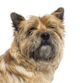 Close up of a Cairn Terrier, isolated on white — Stock Photo