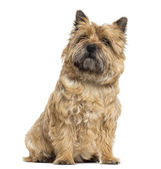 Cairn Terrier sitting, looking up, isolated on white — Stock Photo