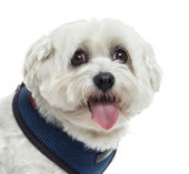 Close up of a Maltese panting, isolated on white — Stock Photo