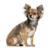 Chihuahua sitting, looking away, isolated on white — Stock Photo