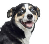 Close up of a Bernese Mountain Dog panting, isolated on white — Stock Photo