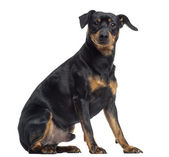 Pinscher and Jagterrier crossbreed, isolated on white, sitting, — Stock Photo