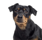 Close up of a Pinscher and Jagterrier crossbreed, isolated on wh — Stock Photo