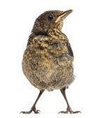 Common Blackbird or Eurasian Blackbird, Turdus merula, 15 days o — Stock Photo