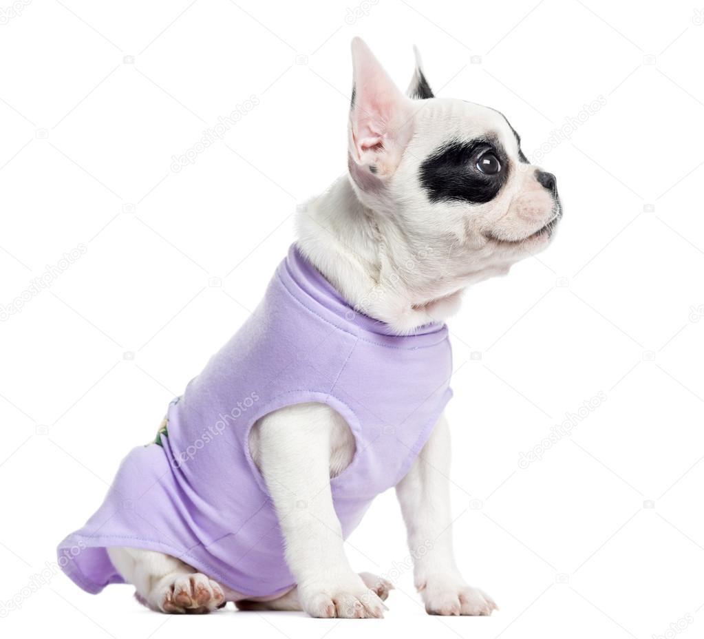 ... bulldog francés mirando hacia arriba, aislado en blanco - Imagen de