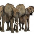 Stock Photo: Front view of three African elephants facing, standing, isolated