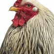 Close up of a Brahma Rooster, isolated on white — Stock Photo