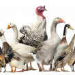 Group of Ducks, Geese and Chickens, isolated on white — Stock Photo #32582085