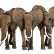 Front view of three Africelephants facing, standing, isolated — Stock Photo #32584793