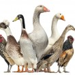 Group of Ducks, Geese and Chickens, isolated on white — Stock Photo #32586723