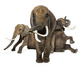Front view of three African elephants performing, isolated on wh — Stock Photo