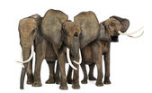 Front view of three African elephants facing, standing, isolated — Stock Photo