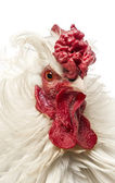 Close up of a curly feathered rooster, isolated on white — Stock Photo