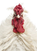 Close up of a curly feathered rooster looking at the camera, iso — Stock Photo