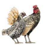 Golden Sebright Bantam rooster and silver Sebright bantam hen, i — Stock Photo