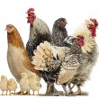 Foto Stock: Group of hens, roosters and chicks, isolated on white
