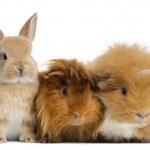 Zwerg-Kaninchen und Meerschweinchen, isoliert auf weiss — Stockfoto #32643805