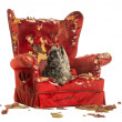 Stock Photo: Cairn Terrier panting, lying on destroyed armchair, isolated o