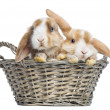 Two Satin Mini Lop rabbits in a wicker basket, isolated on white — Stock Photo