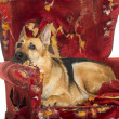 German Sheperd looking dipressed on a destroyed armchair, isolat — Stock Photo