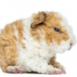 Baby Alapaca Guinea Pig, 1 day old, isolated on white — Stock Photo
