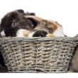 Group of Satin Mini Lop rabbits in a wicker basket, isolated on — Stock Photo