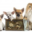 Group of Chihuahuas in a vintage box with Highland fold, isolate — Stock Photo