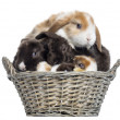 Group of Satin Mini Lop rabbits piled up in a wicker basket, iso — Stock Photo #32648745