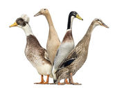 Widok z boku grupy kaczki patrząc w lewo i w prawo, na białym tle o — Zdjęcie stockowe