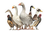 Group of Ducks, Geese and Chickens, isolated on white — Stock Photo