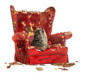 Cairn Terrier panting, lying on a destroyed armchair, isolated o — Stock Photo