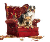 German and Australian Shepherd on a destroyed armchair, isolated — Stock Photo