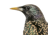 Close-up of a Common Starling, Sturnus vulgaris, isolated on whi — Stock Photo