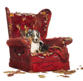 Australian Shepherd and Poodle on a destroyed armchair, isolated — Stock Photo
