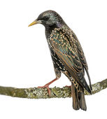 Rear view of a Common Starling perching on a branch, Sturnus vul — Stock Photo