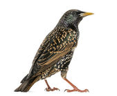 Rear view of a Common Starling, Sturnus vulgaris, isolated on wh — Stock Photo