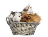 Guinea Pigs piled up in a wicker basket, isolated on white — Stock Photo