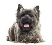 Front view of a Cairn Terrier lying, panting, isolated on white — Stock Photo