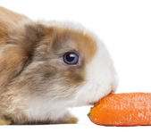 Close-up of a Satin Mini Lop rabbit eating a carrot, isolated on — Stock Photo