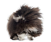 Havanese in the wind, isolated on white — Stock Photo