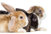 Close-up of Satin Mini Lop rabbits's profile, isolated on white — Stock Photo