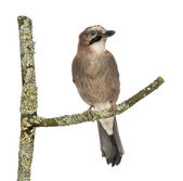Eurasian Jay perching on a branch, Garrulus glandarius, isolated — Stock Photo