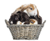 Group of Satin Mini Lop rabbits piled up in a wicker basket, iso — Stock Photo