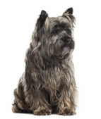 Cairn Terrier sitting, isolated on white — Stock Photo