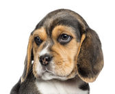 Close-up of a Beagle puppy looking away, isolated on white — Stock Photo
