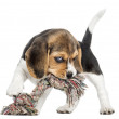 Front view of a Beagle puppy biting a rope toy, isolated on whit — Stock Photo #34815495