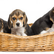 Tree Beagle puppies in a wicker basket, isolated on white — Stock Photo #34817875