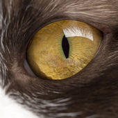 Close-up of a British Longhair's eye — Stock Photo