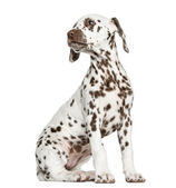 Side view of a Dalmatian puppy sitting, looking backwards, isola — Stock Photo