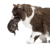 Close-up of a British Longhair carrying a one week old kitten, i — Stock Photo